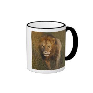 Adult male lion walking through tire tracks, coffee mugs