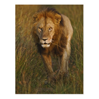 Adult male lion walking through tire tracks, post cards