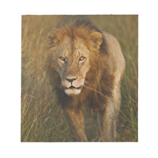 Adult male lion walking through tire tracks, scratch pads