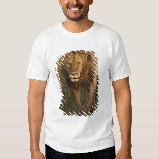 Adult male lion walking through tire tracks, tshirt
