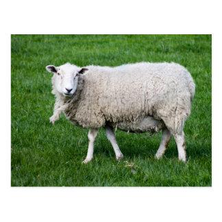 Adult Sheep Postcard