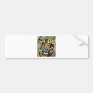 Adult Tiger Bumper Sticker