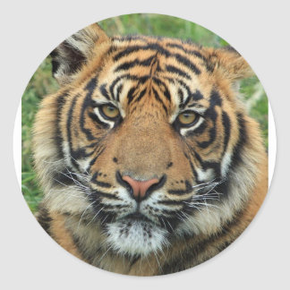 Adult Tiger Classic Round Sticker