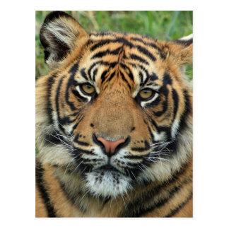 Adult Tiger Postcard