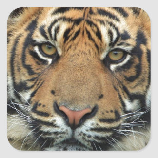 Adult Tiger Square Sticker