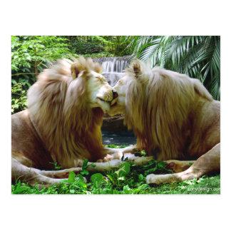 Affectionate Lions Postcard