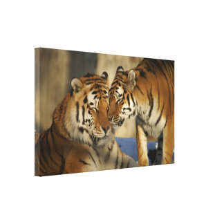 Affectionate Tiger Couple Wrapped Canvas Stretched Canvas Prints