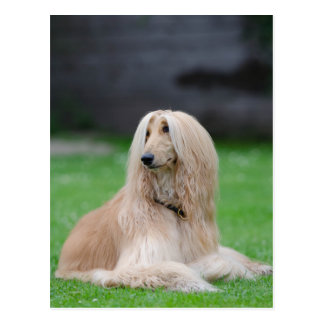 Afghan Hound dog beautiful photo postcard