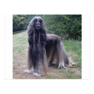 Afghan Hound Dog Postcard