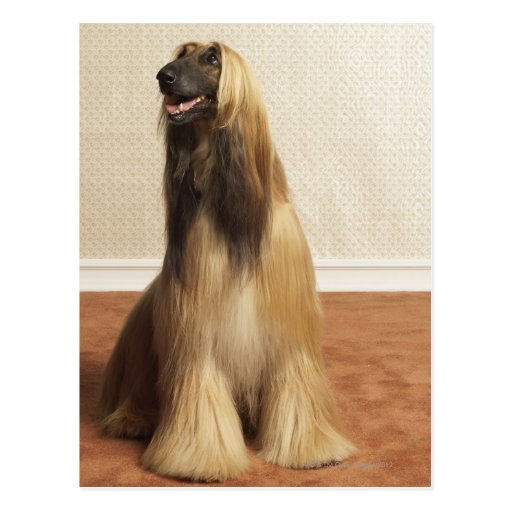 Afghan hound sitting in room 2 post card