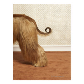 Afghan hound standing in room, end section postcard