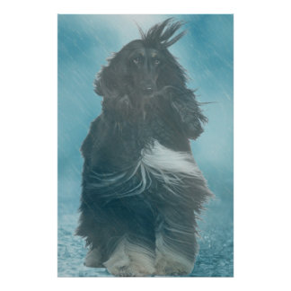Afghan Hound Wind and Rain Blown Poster