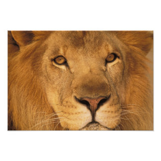 Africa. African male lion, or panthera leo. Art Photo