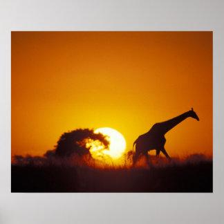 Africa, Botswana, Chobe National Park, Giraffe 2 Poster