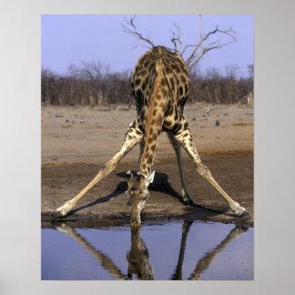 Africa, Botswana, Chobe National Park, Giraffe Poster