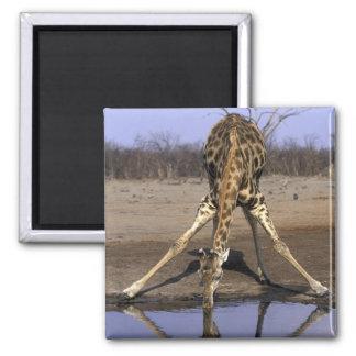 Africa, Botswana, Chobe National Park, Giraffe Square Magnet