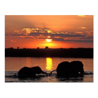 Africa, Botswana, Chobe National Park, Herd of Postcard