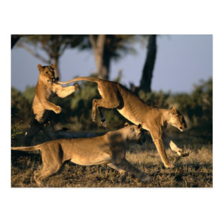 Africa, Botswana, Chobe National Park, Lionesses Postcard