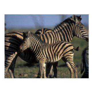 Africa, Botswana, Chobe National Park, Plains Postcard