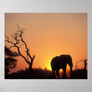 Africa, Botswana, Chobe National Park, Setting Poster