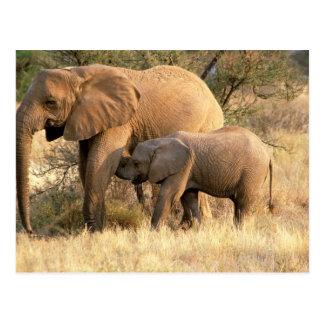 Africa, Botswana, Moremi. Elephant nursing Postcard