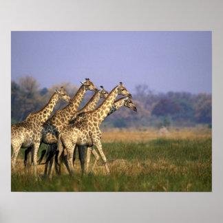 Africa, Botswana, Moremi Game Reserve, Herd of Poster