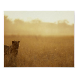 Africa, Botswana, Moremi Game Reserve, Male Lion Poster
