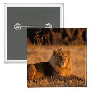 Africa, Botswana, Okavango Delta. Lion (Panthera Buttons