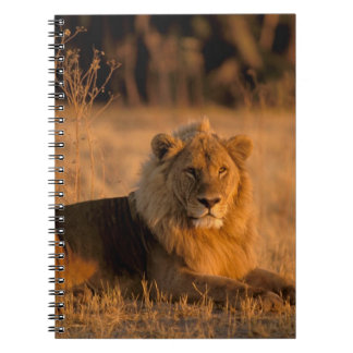 Africa, Botswana, Okavango Delta. Lion (Panthera Notebook