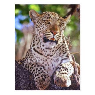 Africa, Botswana, Okvango Delta, wild leopard. 2 Postcard