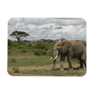 Africa, Kenya, Amboseli National Park, elephant, Rectangular Photo Magnet