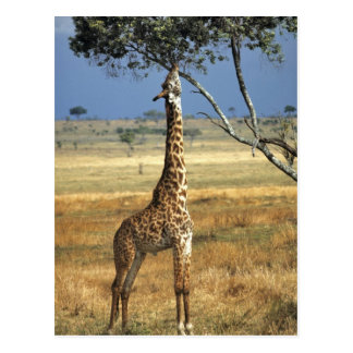 Africa, Kenya, Amboseli NP. A Common, or Masai, Postcard