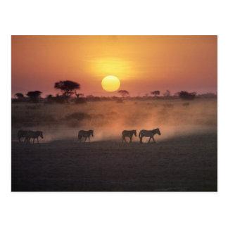 Africa, Kenya, Amboseli NP. Zebra walk to the Postcard