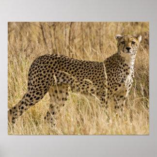 Africa. Kenya. Cheetah at Samburu NP. 2 Poster