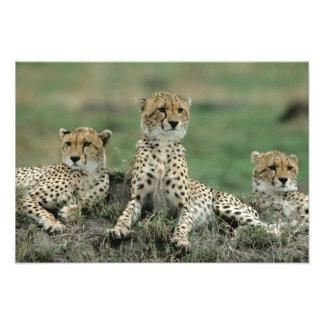 Africa, Kenya, Cheetahs Photograph