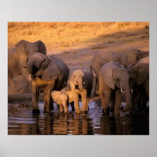 Africa, Kenya, Masai Mara. Elephants (Loxodonta Poster