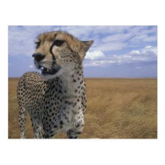 Africa, Kenya, Masai Mara Game Reserve, Adult Postcard