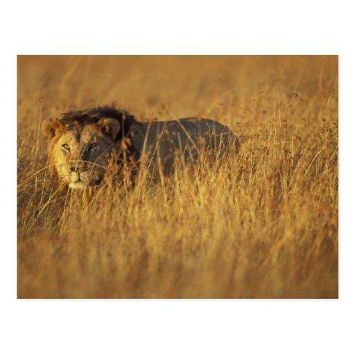 Africa, Kenya, Masai Mara Game Reserve, Adult Postcards