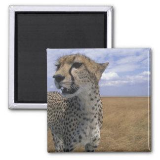 Africa, Kenya, Masai Mara Game Reserve, Adult Square Magnet