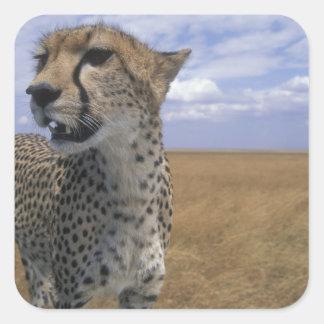 Africa, Kenya, Masai Mara Game Reserve, Adult Square Sticker