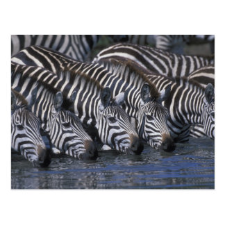 Africa, Kenya, Masai Mara Game Reserve, Plains Postcard
