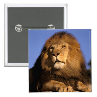 Africa, Kenya, Masai Mara. Male lion (Panthera 15 Cm Square Badge