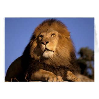 Africa, Kenya, Masai Mara. Male lion (Panthera Greeting Card