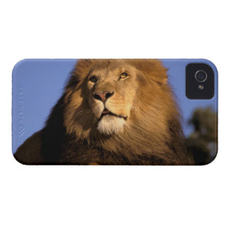 Africa, Kenya, Masai Mara. Male lion (Panthera iPhone 4 Case