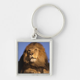 Africa, Kenya, Masai Mara. Male lion (Panthera Key Ring