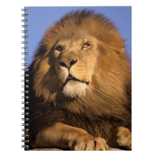 Africa, Kenya, Masai Mara. Male lion (Panthera Spiral Notebooks