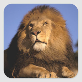 Africa, Kenya, Masai Mara. Male lion (Panthera Square Sticker