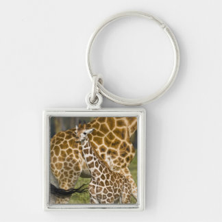 Africa. Kenya. Rothschild's Giraffe baby with Key Chains