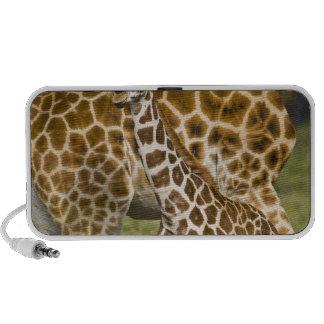 Africa. Kenya. Rothschild's Giraffe baby with iPhone Speaker
