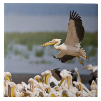 Africa. Kenya. White Pelicans on the shore of Large Square Tile